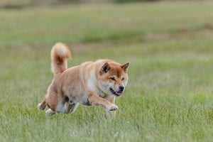 Is Dogecoin Charging Towards Half a Dollar Valuation? This Indicator Shows So